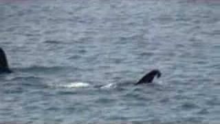 Mammifères marins dans le Prince William Sound