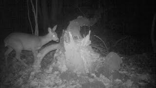 Vie nocturne autour d'un tronc brisé : huit espèces de mammifères !